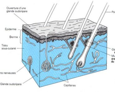 Anatomie de la peau