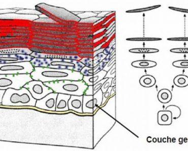 Couche germinative