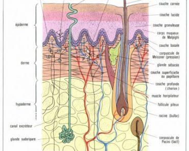 La structure histologique de la peau