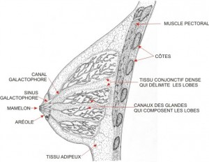 Tissu adipeux
